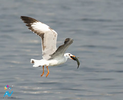 Brown Headed Gull - Chroicocephalus brunnicephalus (Aravind Venkatraman) Tags: morning brown india bird birds nikon gull indian birding 300mm national dslr aravind chennai birdwatching f4 birder headed nationalgeographic birdphotography 14tc nikondslr birdsindia indiabirds incredibleindia indianbirds birdphotographer dslrnikon brownheadedgull larusbrunnicephalus kelambakkam avphotography nikon14tc d7000 chroicocephalus chroicocephalusbrunnicephalus brunnicephalus nikond7000 chennaibirding d7000nikon aravindvenkatraman