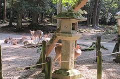 Nara-Koen :parc aux daims (Micheline Canal) Tags: child asie nara animaux enfant parc japon daim japan