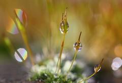 moss with drops (bugman11) Tags: macro moss drop drops droplet droplets water snow winter flora canon 100mm28lmacro nederland thenetherlands platinumheartaward 1001nights mygearandme mygearandmepremium ringexcellence mygearandmebronze ٶelitemossandlichenٶ thegalaxy contactgroups