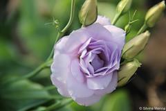 lisianthus.... (Silvina Menna) Tags: flores planta argentina canon yahoo google plantas flickr flor lila hoy fotografia violeta t3i lisianthus silvinamennafotografia silvinamenna