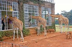 DSC06097b Giraffe Manor - Nairobi, Kenya: Rothschild Giraffes at Breakfast (wanderlust  traveler) Tags: africa baby green garden landscape kenya nairobi orphan orphanage rhino elephants endangered manor gazelle blackrhino giraffemanor davidsheldrickwildlifetrust orphanelephant rothschildgiraffe