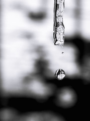 2-12-2013 (CareBearQuelly) Tags: blackandwhite macro melting icicle day43 waterdroplet day43365 3652013 12feb13 365the2013edition