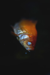 RIP Goldfish (Jon Medina) Tags: winter fish cold dark death scary tears sad sony rip creepy alpha a35 golsgish