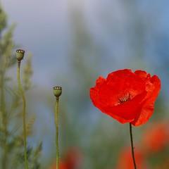 Couleurs d'un jour d'été **--* (Titole) Tags: squareformat poppy poppies coquelicot friendlychallenges thechallengefactory titole favescontestfavored nicolefaton