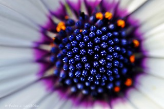 Osteospermum (Explore, Feb 19, 2013)