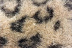soft fur (Cloudtail the Snow Leopard) Tags: snow cat fur mammal zoo leopard bigcat katze karlsruhe fell panthera raubkatze schneeleopard sugetier irbis uncia groskatze