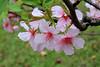 192A9440 (HL's Photo) Tags: flowers urban plant flower macro natural taiwan pinkflower urbannature bloom sakura taipei 花 blooming 櫻花 natrure macroflower 河津櫻