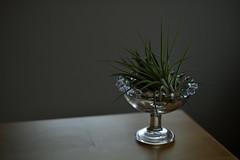 morning light (shin5963) Tags: morning light plant glass table tillandsia ionantha
