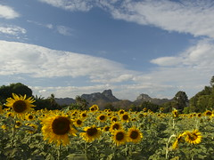 Sunflower Field Thai Feld Sonnenblumen Tan Tawan Central Thailand Southeast Asia Asien (hn.) Tags: flowers copyright mountain mountains flower berg field asian thailand asia asien heiconeumeyer southeastasia sdostasien farm hill farming feld blumen hills berge mount sunflowers thai sunflower blume cultivation anbau sonnenblume saraburi copyrighted hgel sonnenblumen sunflowerfield sonnenblumenfeld centralthailand tantawan nayao saraburiprovince phraphutthabat zentralthailand phraphuttabat tp201213 mittelthailand amphoephraphuttabat amphoephraphutthabat