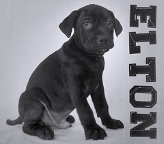 Elton The 12 Week Old Black Labrador/Austrian Shepherd Puppy (Immature Animals) Tags: white black cute puppy adorable elton josephina barktucson barkbabyanimalrescuekoalitiontucson