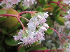 Crassula ovata (esta_ahi) Tags: barcelona espaa snow casa spain flora plantas nieve nevada crassulaceae neu crassula ovata crasas crassulaovata  vilafrancadelpeneds cultivadas