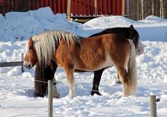 55 av 365 (Yvonne L Sweden) Tags: winter two horses snow sunshine sweden duo pair tva häst hästar två fotosondag parhästar 365foton 3652013 fs130224