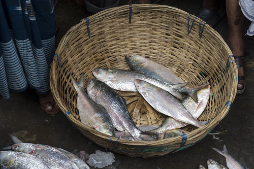 Hilsa fish in a wet market in Barisal, Bangladesh.Photo by Finn Thilsted, 2012.