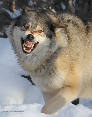 Smile! (Mrscurlyhead) Tags: winter wild snow smile animal norway canon wolf wildlife teeth leader wilderness alpha predator langedrag leaderofthepack instincts canislupus canoneos60d scandinaviangraywolf