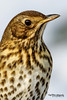 Song Thrush, Turdus philomelos. (Nigel Blake, 13 MILLION...Yay! Many thanks!) Tags: bird history nature birds canon photography natural song wildlife blake nigel ornithology thrush songbird turdus philomelos passerine eos1dsmkiii 600mmf4is