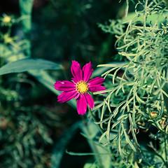 Hot Pink (Yoonki Jeong) Tags: flower grass cross korea seoul cosmos 대한민국 꽃 코스모스 십자가 mexicanaster 풀 서울특별시