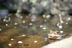 (Tokutomi Masaki) Tags: japan tokyo alley frog       2013