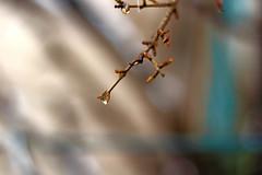 برف آب شده (Alias_239) Tags: snow tree iran blossom pomegranate bud ایران درخت qom برف شکوفه انار قم قطره