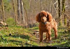 Lilly Pirsch (H. Eisenreich) Tags: light red dog rot forest licht nikon hound hans hund lilly lane poodle apricot wald weg pudel pirsch schmidmhlen poudel eisenreich blaugrund