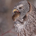 Great Gray Owl...#32 (Bye Bye mr. mouse)