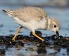 Fast snack (v4vodka) Tags: bird nature animal wildlife birding longisland birdwatching plover pipingplover charadriusmelodus westmeadowbeach pipingploverchick sieweczka siewka