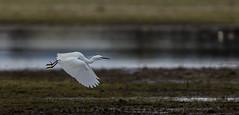 Little Egret (Julia-still away! catching up) Tags: nature egret whitebird littleegret wwtslimbridge flyingegret canon5dmarkiii canon100mm28fmacroisusm juliamartinphotography