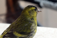 Male Eurasian Siskin Portrait (pustota_optom) Tags: winter bird birds animals portraits feeding small closeups siskin siskins