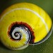 Cuban Painted Snail (Polymita picta)