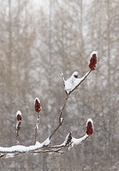"""red dots over the """"i"""" (marianna_a.) Tags: winter snow canada storm tree nature grass landscape woods quebec sumac falling snowfall mariannaarmata"""