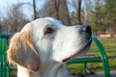 Thor (Yane Naumoski) Tags: park dog white eye look animal bench bokeh sharp thor