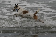 Still flying (Harriet and Spare Cat) Tags: dog beach wet fun happy flying sandy much jackrussellterrier jumpforjoy