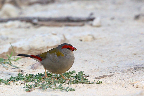 Estrildidae - Red-browed Finch