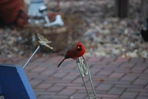 My backyard Cardinal   2013