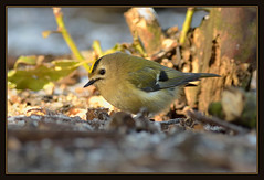Goldcrest (Full Moon Images) Tags: bird nature wildlife sandy bedfordshire reserve goldcrest thelodge rspb