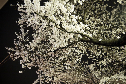 夜桜 Cherry Blossom in the dark