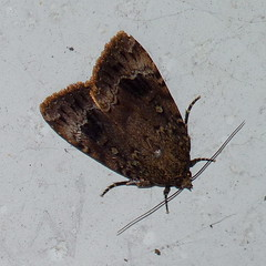 Copper Underwing (Dendroica cerulea) Tags: copperunderwing amphipyrapyramidoides amphipyra amphipyrini amphipyrinae noctuidae noctuoidea lepidoptera insecta hexapoda arthropoda insect invertebrate moth summer nationalmothweek mothlight blacklight highlandpark middlesexcounty nj newjersey