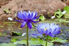 Lotus (Mama Shaz) Tags: nature flora waterlilies