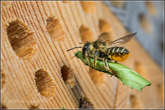 Leaf-cutter Bee (Ed Phillips 01) Tags: magachile centuncularis leafcutter female bee insect macro mpe staffordshire explored