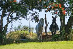 Sharing the Shade  [Explore] (Eskling) Tags: horse donkey looking shade sunshine hot
