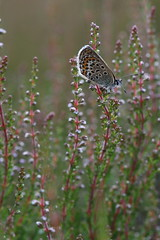 Silver-studded Blue on Heather (raggi di sole) Tags: england thursley nature silverstuddedblue butterfly insect lepidoptera lycaenidae plebejusargus blue heathland wings heather underwing