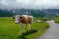 Berg-Kuh (welenna) Tags: alpen alps adelboden switzerland summer schwitzerland sky nebel natur natural animals engstligenalp tiere cow clouds cloud kuh view landscape