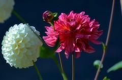08-21-2016-Dahlia Flowers (Valerie Sauve-Vancouver) Tags: dahliaflowers garden park nature vancouverbc summer pink white blooms