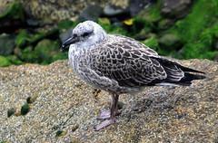 Herring Gull (3) (grahamh1651) Tags: newlyn newlynharbour tolcarne birds seabirds gulls swans waders shorebirds
