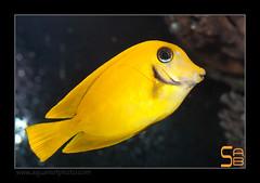 ALAIN1pyroferus6588 (kactusficus) Tags: marine reef aquarium alain captive ecosystem rcifal acanthuridae chirurgien surgeonfish tang acanthurus pyroferus