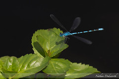 Damselfly III (Nathan Dodsworth Photography) Tags: damselfly flight hunting flying resting wings colour blue shape form dynamics streamlined pond reeds foliage outdoors species insect common
