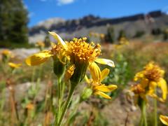 Arnica mollis (Matt Lavin) Tags: asteraceae native perennial herb tetonrange subalpine alpine arnicamollis hairyarnica alaskabasin
