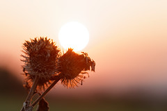 Klette (janakintrup) Tags: gegenlicht september herbst sonne sonneuntergang sonnenlicht licht stimmung canon klette pflanze rot outdoor makro natur