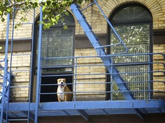 (Goggla) Tags: nyc new york lower east side les fire escape window dog fireescape