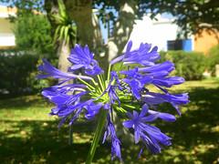 Agapanthus (RobW_) Tags: agapanthus flower tsilivi zakynthos greece sunday 21aug2016 august 2016