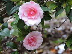 Camellia japonica 'Robyn McMinn' (Sheila's collection) Tags:  camellia japonica robyn mcminn theaceae